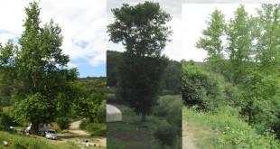 Yaşlı anıt ağaçlar